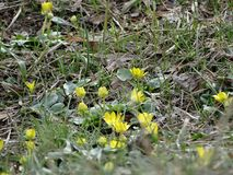 In the spring Park appeared primroses. Spring in the Park from under last year`s grass appeared primroses royalty free stock image