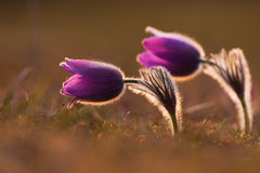 Spring pasque flower Stock Photography