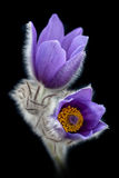 Spring pasque flower. Pasque flower with black background Stock Photography