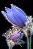 Spring pasque flower. Pasque flower with black background Royalty Free Stock Photography