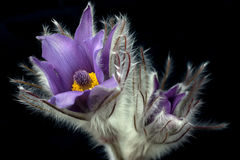 Spring pasque flower. Pasque flower with black background Stock Photo