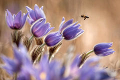 Spring pasque flower. Pasque flower with a little bee Royalty Free Stock Images