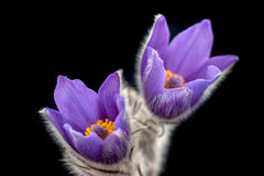 Spring pasque flowers. Pasque flowers with black background Stock Photo