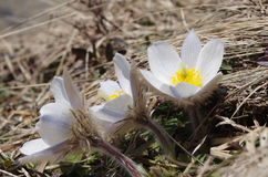 Spring pasqueflower  ( Pulsatilla vernalis ) Royalty Free Stock Photo