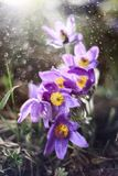 Spring pasqueflower, Pulsatilla vernalis spring flowers sprinkle Stock Photography