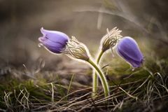 Spring pasqueflower, Pulsatilla vernalis spring flowers closed i Stock Images