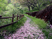 Spring path. A beautiful path in the forest in the end of the  spring covered by cherry blossoms petals Stock Images