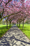 Spring path in park with cherry blossom and pink flowers. Spring path in the park with cherry blossom pink flowers, vertical photo, visible green grass and Stock Image