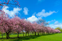 Spring path in park with cherry blossom and pink flowers. Stock Photo