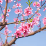 Spring peach blossoms in an orchard Royalty Free Stock Image
