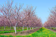 Spring Peach blossoms Stock Photography