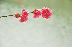 Spring peach flower on water background Stock Photography