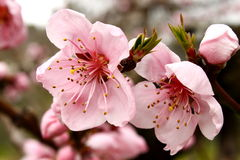 Spring peach flowers Stock Image