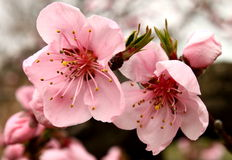Spring peach flowers Stock Photography