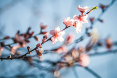 Spring peach tree blossom. Spring peach blossom in garden with blue sky background stock photo