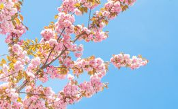 Spring peach tree with flowers Stock Photos