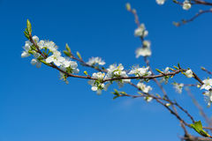 Spring . Pear b;ossom with negative space. Pear blossom and buds, agains a blue sky Royalty Free Stock Images