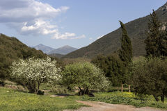 The spring pear. Blossoming tree on a background of mountains Stock Photography
