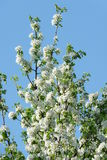 Spring. Pear blossoms against the sky Royalty Free Stock Photography