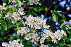 Spring. Pear blossoms Stock Image