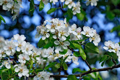 Spring. Pear blossoms Royalty Free Stock Photos