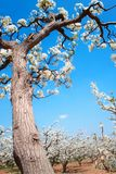 Spring pear orchard Royalty Free Stock Photos