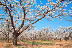 Spring pear orchard Stock Photos