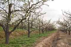 Spring pear orchard Royalty Free Stock Photography