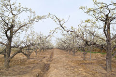 Spring pear orchard Stock Images
