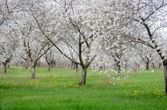 Spring pear orchard  in blossom Royalty Free Stock Photo