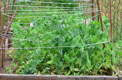 Spring peas grown plant, South Bohemia Royalty Free Stock Photos