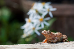 Spring Peeper. Sitting on a log with flowers in the background Royalty Free Stock Photography