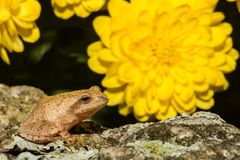Spring Peeper. A Spring Peeper crawling on a rock in front of mums in the fall Royalty Free Stock Photo