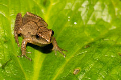 Spring Peeper Stock Photography