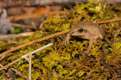 Spring Peeper Royalty Free Stock Images