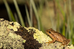 Spring Peeper. Found during the spring migration Royalty Free Stock Images