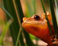 Spring Peeper Frog on Grass. A Spring Peeper Frog stares warily while perched on a blade of grass Royalty Free Stock Image