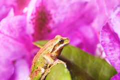 Spring peeper frog inside of wild flowers during bright daylight. Close up of frog, spring peeper, on wild flowers during bright morning light. Light effect Royalty Free Stock Images