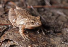 Spring peeper frog. A tiny spring peeper frog hanging out on the damp forest floor in springtime Royalty Free Stock Photography