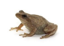 Free Spring Peeper On White Stock Images - 47055764