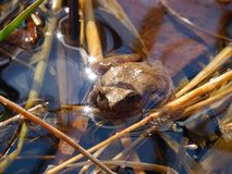 Spring Peeper (Pseudacris crucifer). A Spring Peeper (Pseudacris crucifer) in central Illinois Royalty Free Stock Image