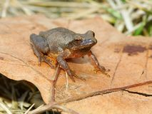 Spring Peeper (Pseudacris crucifer). A Spring Peeper (Pseudacris crucifer) in central Illinois Stock Photo