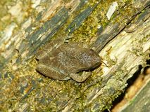 Spring Peeper (Pseudacris crucifer). A Spring Peeper (Pseudacris crucifer) at Kickapoo State Park in central Illinois Stock Photo