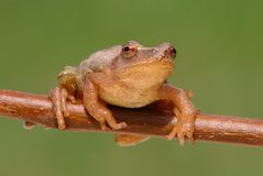 Spring Peeper (Pseudacris crucifer). On a branch with a green background Stock Images
