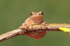 Spring Peeper (Pseudacris crucifer). On a branch with a green background Stock Photography