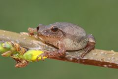 Spring Peeper (Pseudacris crucifer). On a forsythia branch with a yellow flower and a green background Stock Photos