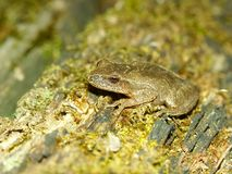Spring Peeper (Pseudacris crucifer). Spring Peeper (Pseudacris crucifer) in central Illinois Stock Photography