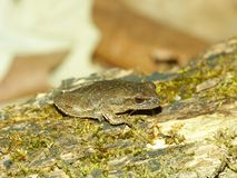 Spring Peeper (Pseudacris crucifer). Spring Peeper (Pseudacris crucifer) in central Illinois Stock Images