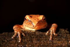 Spring Peeper (Pseudacris crucifer). On a log with a black background Royalty Free Stock Photo