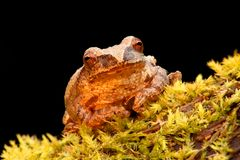 Spring Peeper (Pseudacris crucifer). On a log with a black background Royalty Free Stock Image